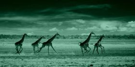Tablou Girafe alergand, luminos in intuneric, 40 x 120 cm