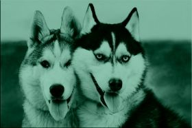 Canvas Wall Art Pair of Husky, Glowing in the dark, 80 x 120 cm