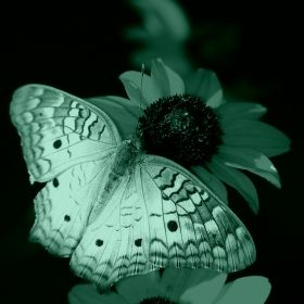 Canvas Wall Art Butterfly on flower, Glowing in the dark, 80 x 80 cm